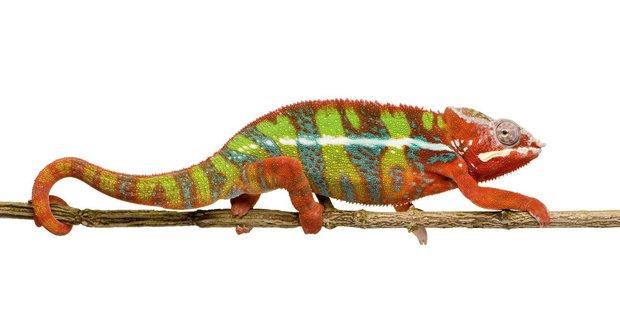 Chameleoni: když barvy promluví