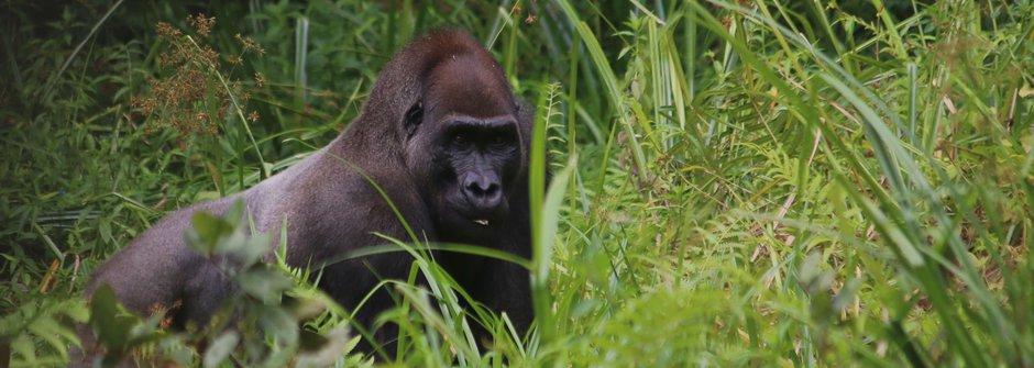 Návštěva u lidoopů: Šimpanzi a gorily přežívají v pralese