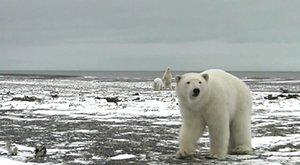 Úlet! Chlápek versus tři lední medvědi. Vyhraje ten s větším klackem
