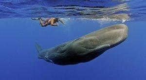 Mírumilovní obři: Potápění mezi vorvani