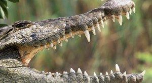 Zvířata u zubaře: V krokodýlí tlamě