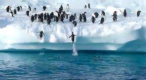 Tučňáci vyskakují na ledovec jako vystřelení