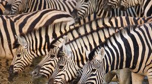 Černobílý repelent: Proč jsou zebry pruhované