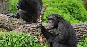 Šimpanzi nám pomáhají pochopit minulost