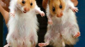 Člověk a zvířata: Kousaví mazlíci křečci a křečíci