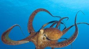Chobotnice si vždycky ví rady