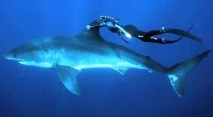 Jak se plave s lidožravým žralokem? Takhle!!!