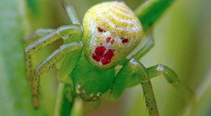 Foto ABC: Pavouk nebo klaun?