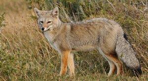 Vlk z ostrovů: Co prozradila lebka