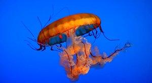 Medúzy z hlubin moří: Krása, která pálí