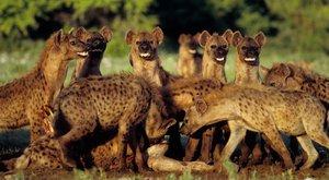 Manželé pod pantoflem: U hyen vládnou samice