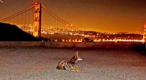 Kojot, kam se podíváš