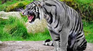 Zrozeny k zabíjení: Co prozradily geny velkých koček