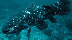 Věrné ryby: Soukromý život latimérií