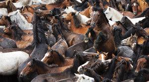 Poslední divocí koně patří k nejstarším plemenům