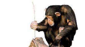 Na lovu mravenců: Proč šimpanzi nežerou jen ovoce