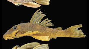Nový druh ryby je pojmenovaný podle Greeda ze Star Wars
