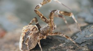 Peříčkový pavouk: Fešák se smrtícími schopnostmi