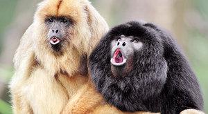 Když zuby promluví: Domov opiček z Jižní Ameriky je v Africe