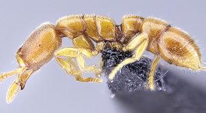 Mravenci upíři: Nový druh pije krev!