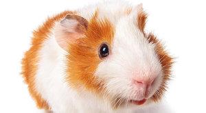Kde se vzalo morče: Zvířátka nejen na mazlení