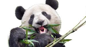 Línější než lenochod: Zpomalený život pandy velké