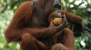 Jedovatá kořist orangutanů: Kopance do outloňů