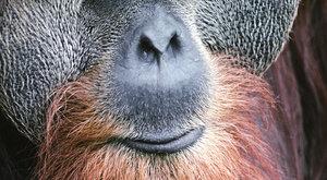 Masožraví orangutani: Jsou primáti krvelačné šelmy?