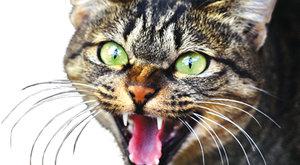 Nebezpeční mazlíčkové: Jak přišly kočky do Austrálie