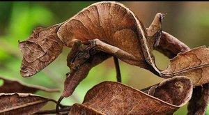 Noční gekoni nebo listy? Dobře ukrytí plazi s obrovskýma očima
