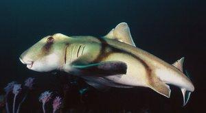Nejpodivnější žraloci světa: Obdivovaní, obávaní, ohrožení různozubci