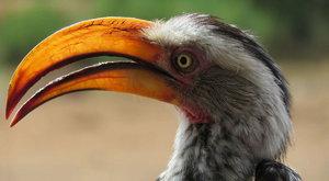Lovci lovců: Zoborožci a nebezpečná kořist