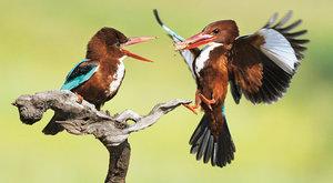 Ptačí rybáři: Ledňáčci celého světa