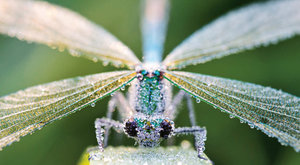 Ráno u vody: Orosená vážka motýlice lesklá