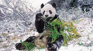 Brýlatí medvědi: Za pandami do hor
