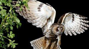 Nebezpečný hluk: Hluchá sova nic neuloví