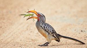 Ulovený lovec: Zoborožec jihoafrický