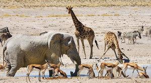 Pouštní sloni: Přežívají díky znalostem