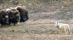 Pižmoni proti vlkům: Rohatá hradba