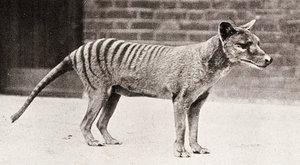 Vakovlk: Nejslavnější vyhynulý savec
