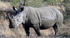 Nosorožec bez nosu: ZOO Dvůr Králové uřízne nosorožcům roh