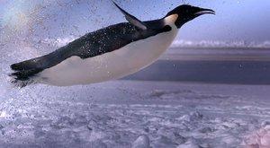Nejotužilejší ptáci světa: Tučňáci císařští