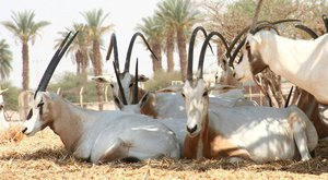 Antilopy s nejdelšími rohy