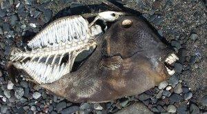 Obávané ryby: Pirani červené