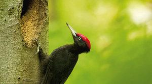 Datel černý: Pták roku 2017