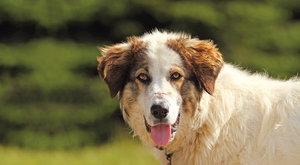 Zpátky ke stádu: Návrat pasteveckých psů