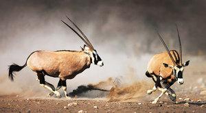 Pouštní antilopy: Návraty přímorožců