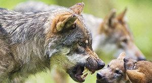 Samotář nebo společník? Los se vlka nebojí
