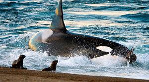 Zuby proti kosticím: Evoluce velryb