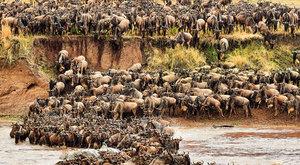 Pakůň vedle pakoně: Největší stádo světa